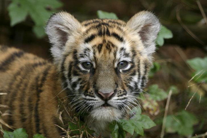 Bébé tigre dans la jungle, en Inde