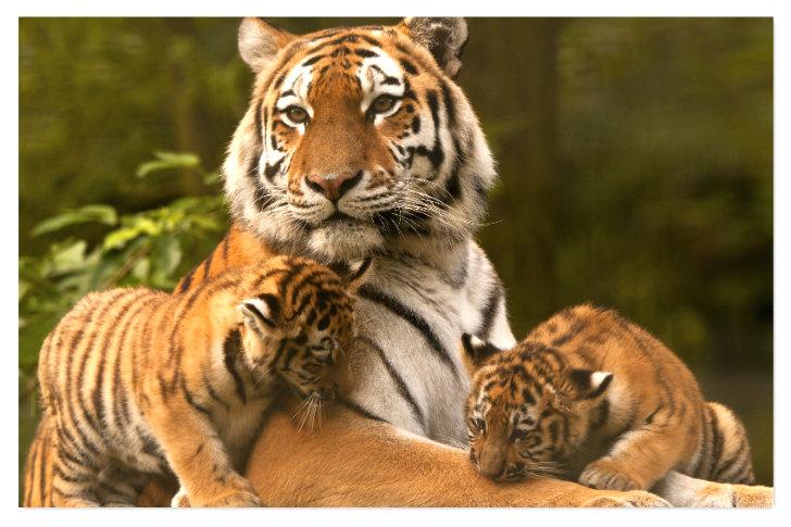 Tigre A Imprimer