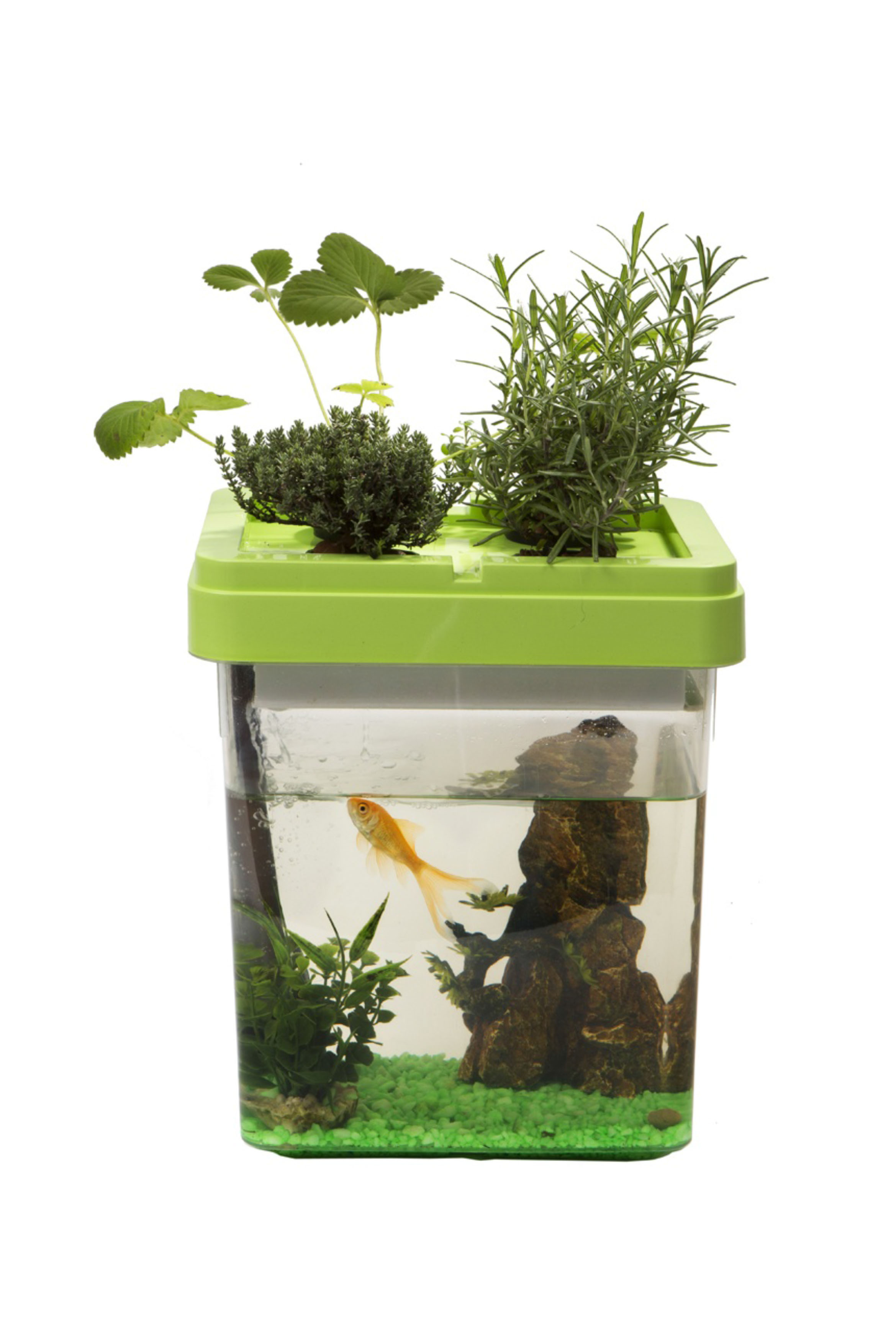 Un aquarium qui fait pousser des fraises wakou for Quelle plante aquarium poisson rouge