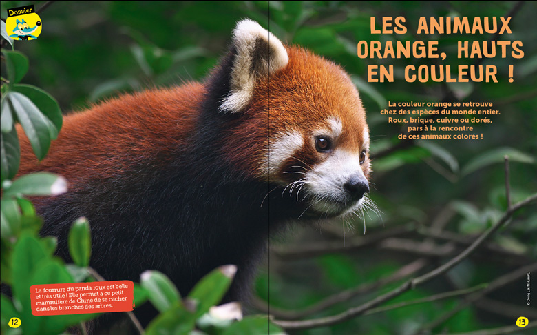 Panda roux quiz sur les animaux orange