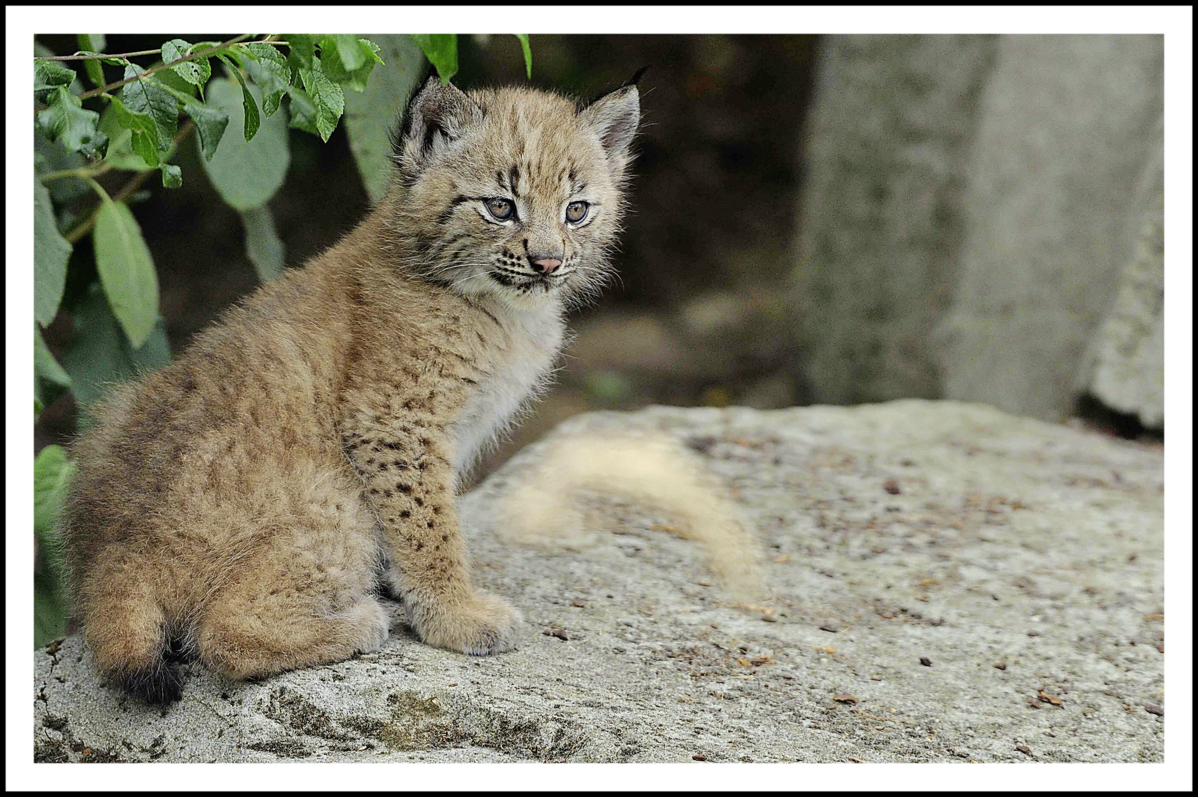 Ragnar, petit lynx, au Parc zoologique de Paris.