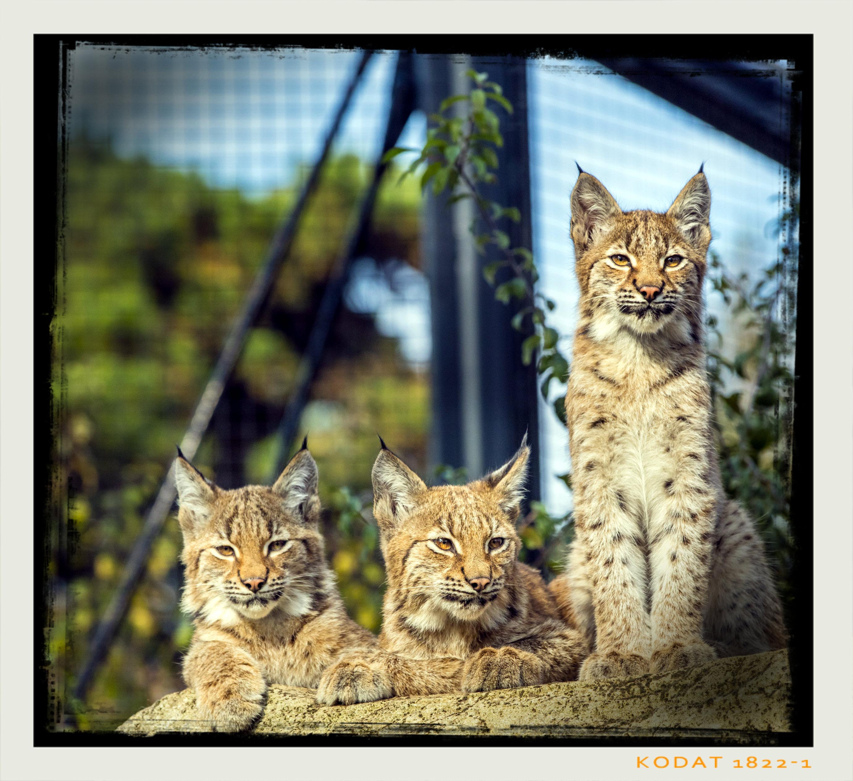 Les 3 petits lynx, au Parc zoologique de Paris. © Vincent Gire.
