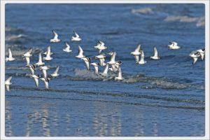 Becasseau sanderling