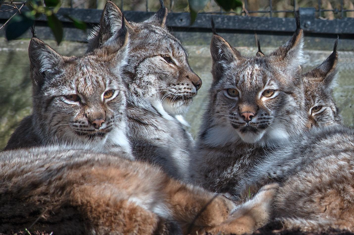 les lynx du parc zoologique de Paris