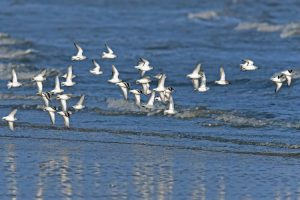 becasseau sanderling