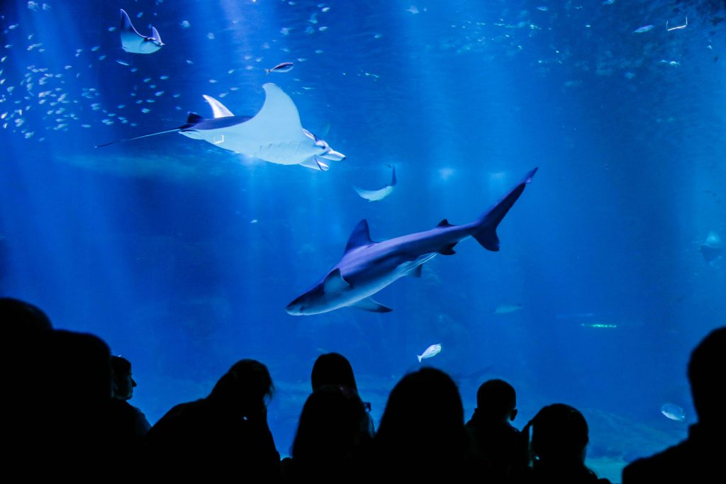 Grand bassin océanique de Nausicaa : requin gris et raie manta.