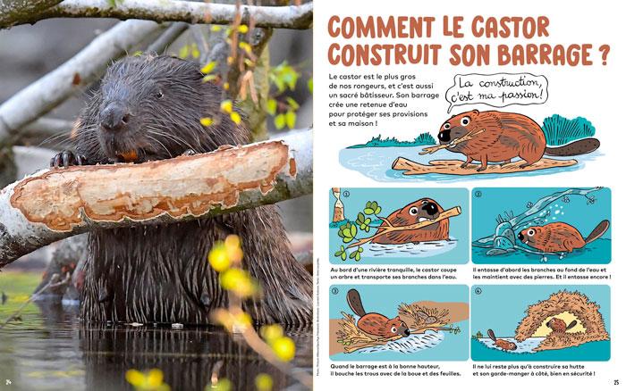 Comment le castor construit son barrage ? Wakou magazine